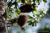 Banksia cones