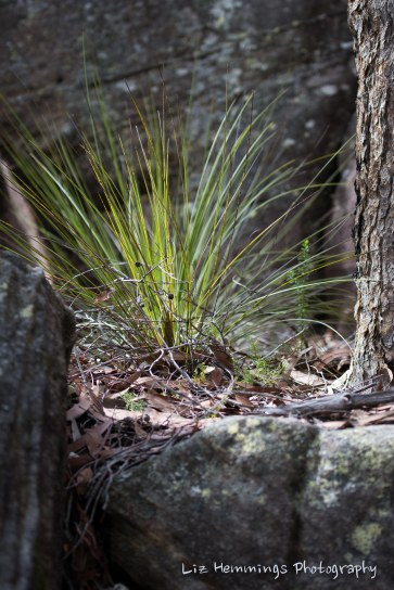 Native grass growing amongst the sandstone