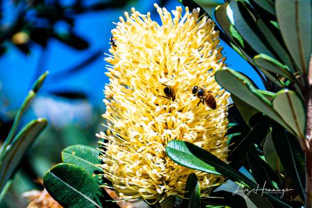 Banksia and Bees Nora Head July 2019-0983